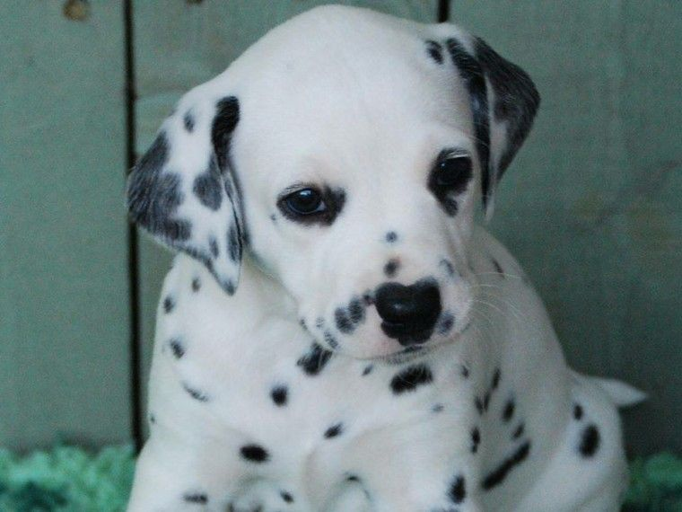 Dalmatian Puppies For Sale | Rochester, NY #237073