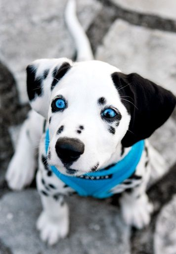 Dalmatian Puppies For Sale Birmingham Al 261322