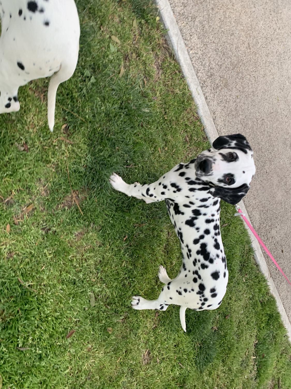 Dalmatian Puppies For Sale   Missouri USA