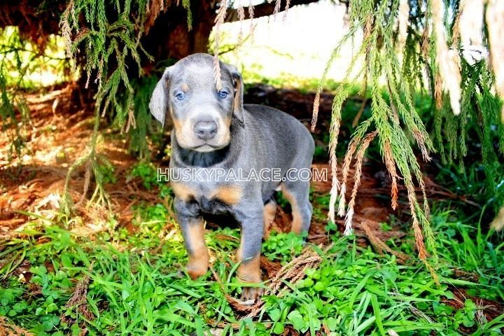 Doberman Pinscher Puppies For Sale Spartanburg Sc 106539