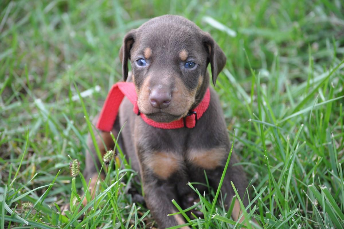 Doberman puppy for sale | Scotland UK