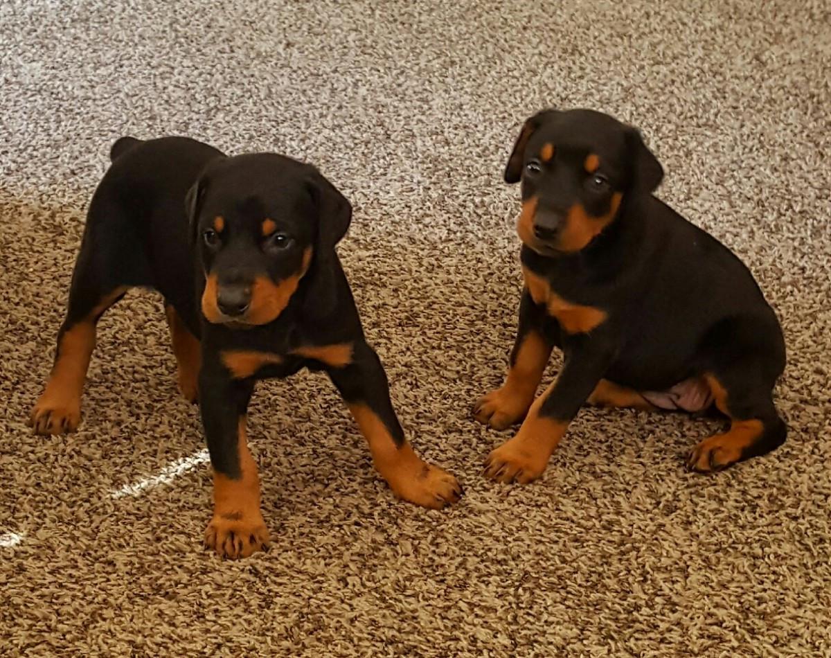 Doberman Pinscher Puppies For Sale | Dayton, OH #165083