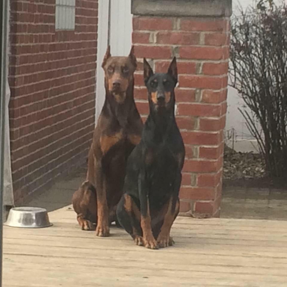 Doberman Pinscher Puppies For Sale Detroit Mi 173907