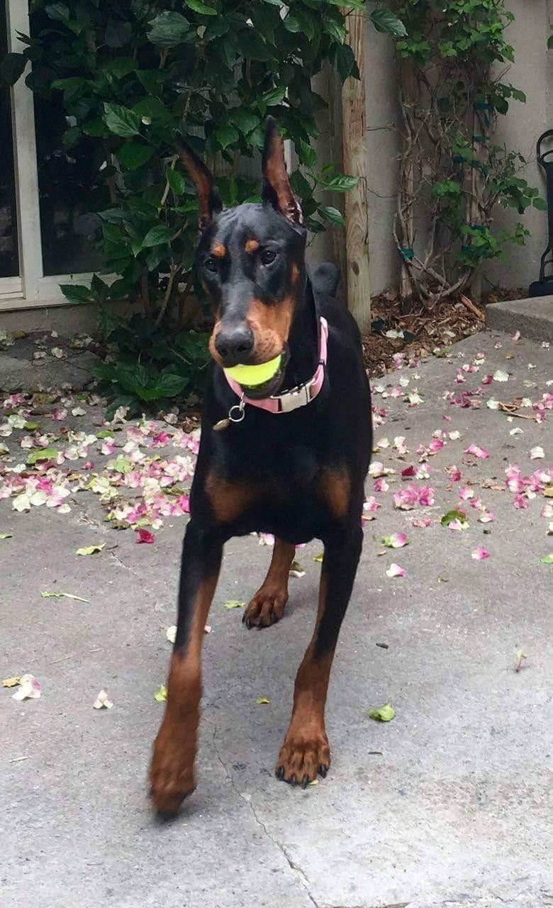 Doberman Pinscher Puppies For Sale   Volusia County, FL ...