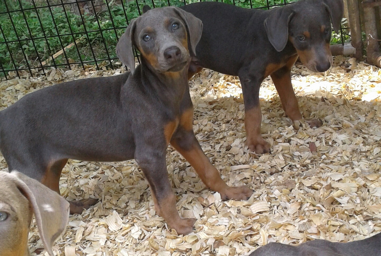 Doberman Pinscher Puppies For Sale Needville Tx 210706