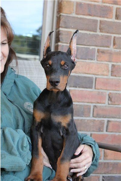 Doberman Pinscher Puppies For Sale | San Antonio, TX #214983
