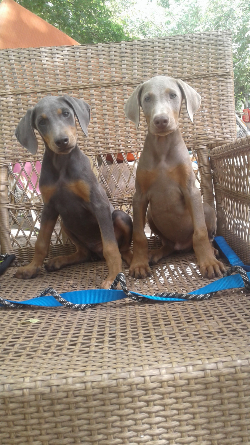 Doberman Pinscher Puppies For Sale Needville Tx 218302
