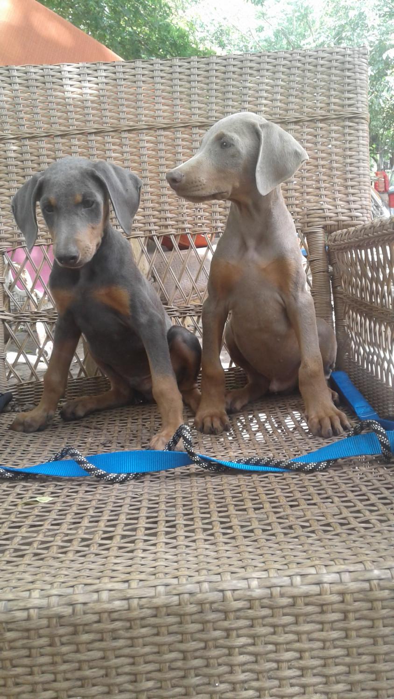 Doberman Pinscher Puppies For Sale Needville Tx 219140