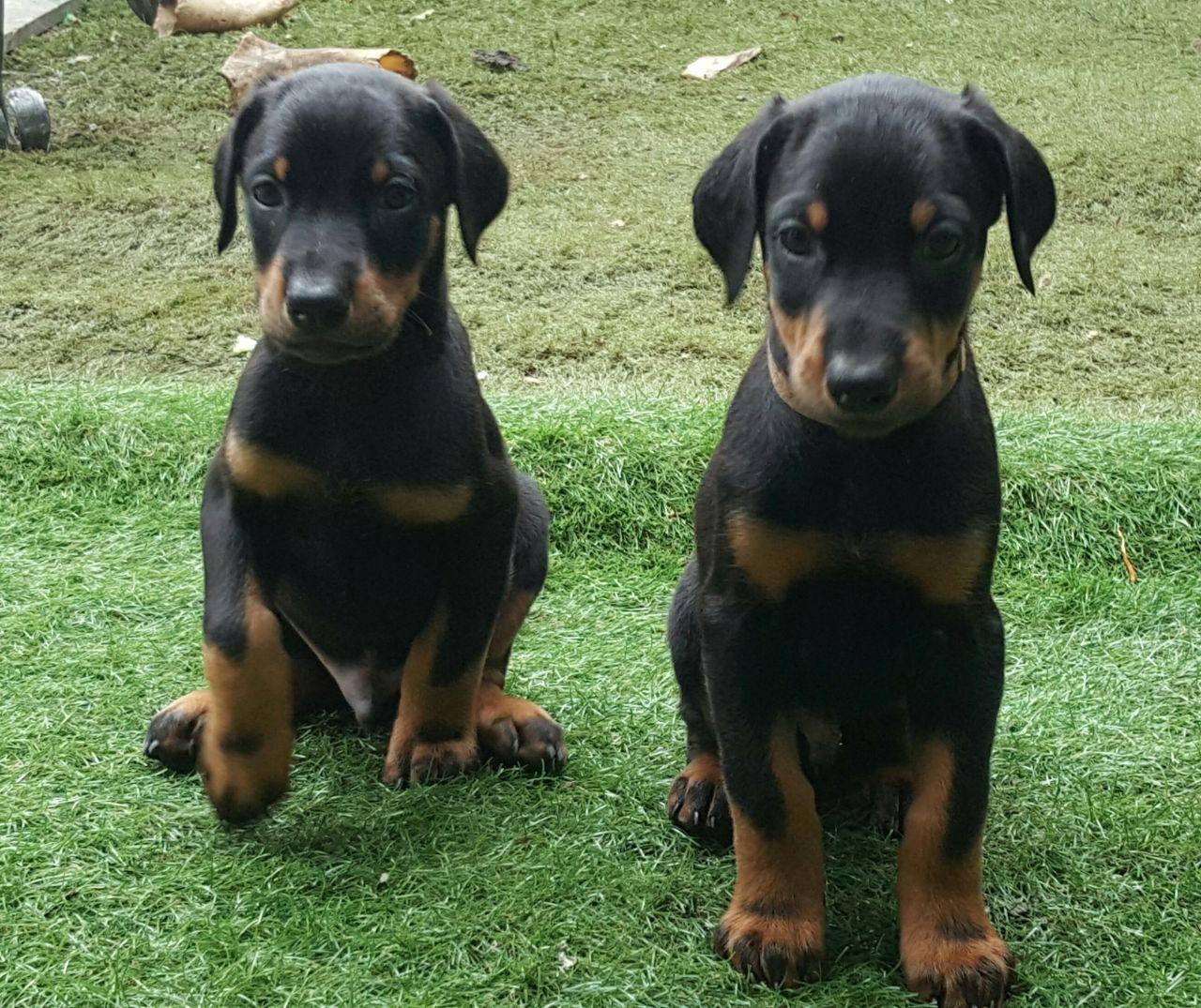 Doberman Pinscher Puppies For Sale | Newark, NJ #219309