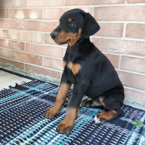Doberman Pinscher Puppies For Sale Hopkins Sc 249765