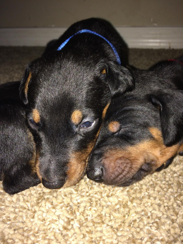View Ad: Doberman Pinscher Puppy for Sale near Hungary