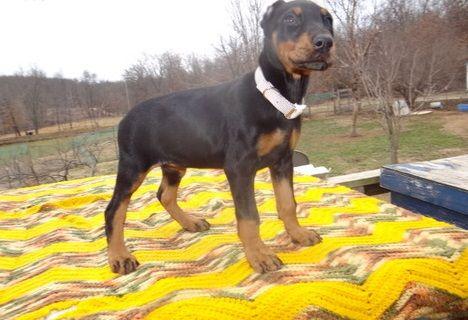 Doberman Pinscher Puppies For Sale Saginaw Mi 287163