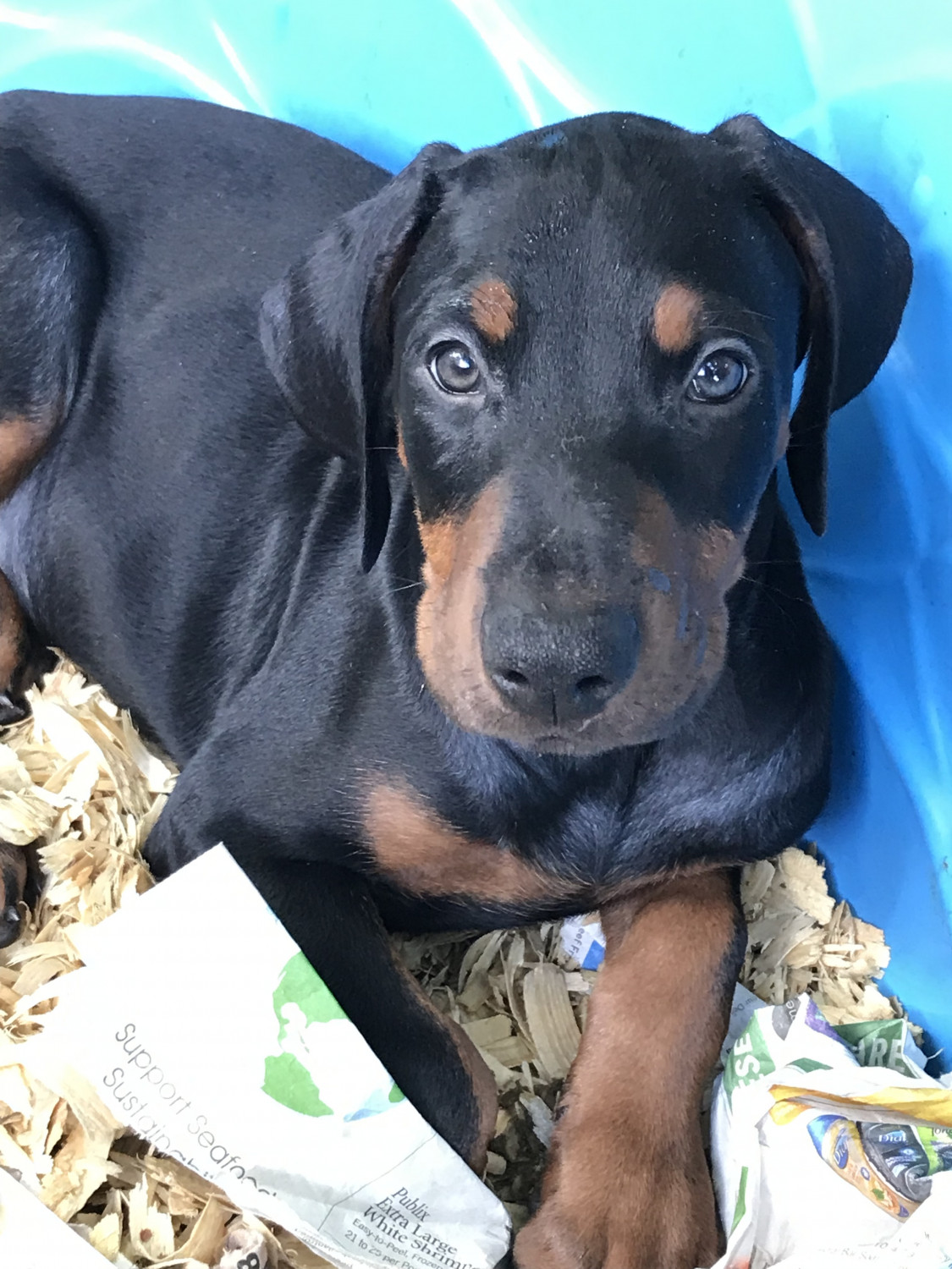 Doberman Puppies for Sale in Bacolod City, Western Visayas In Philippines