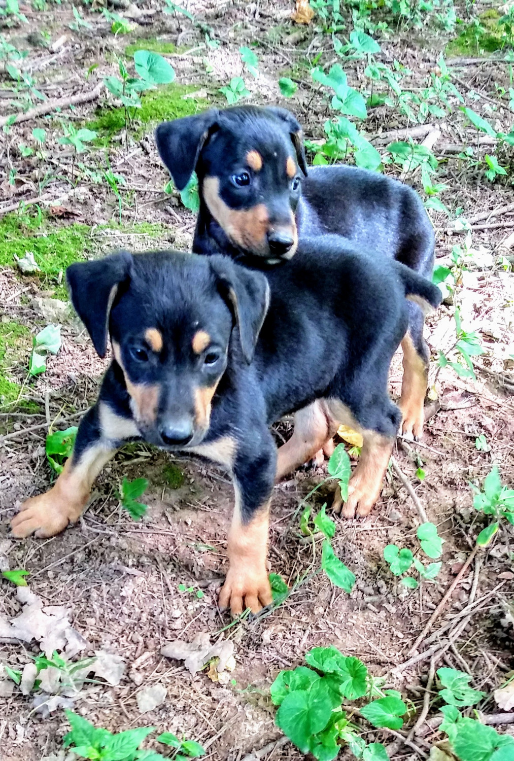Doberman puppies for sale. | Hungary | Pets4Homes