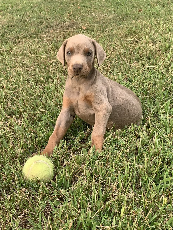 Doberman Pinscher Puppies For Sale Chester Ar 306246