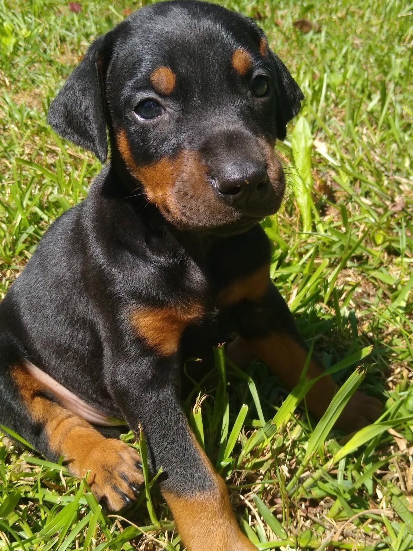 Buy Puppy Doberman For Sale In England UK