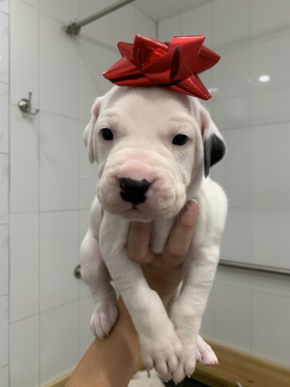 Dogo Cubano Puppies For Sale Miami Fl 317601 Petzlover