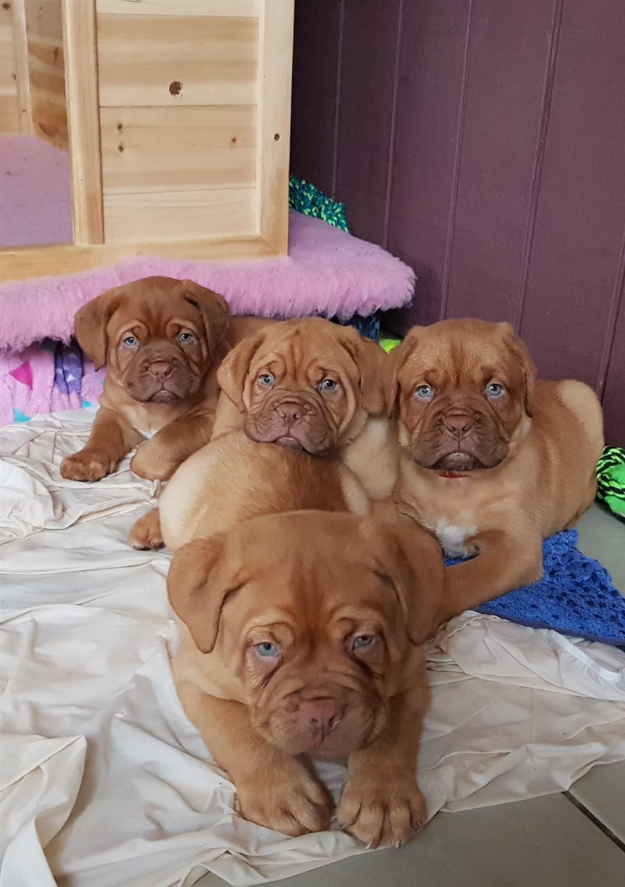 Dogue De Bordeaux Puppies For Sale Charlotte Nc 254039