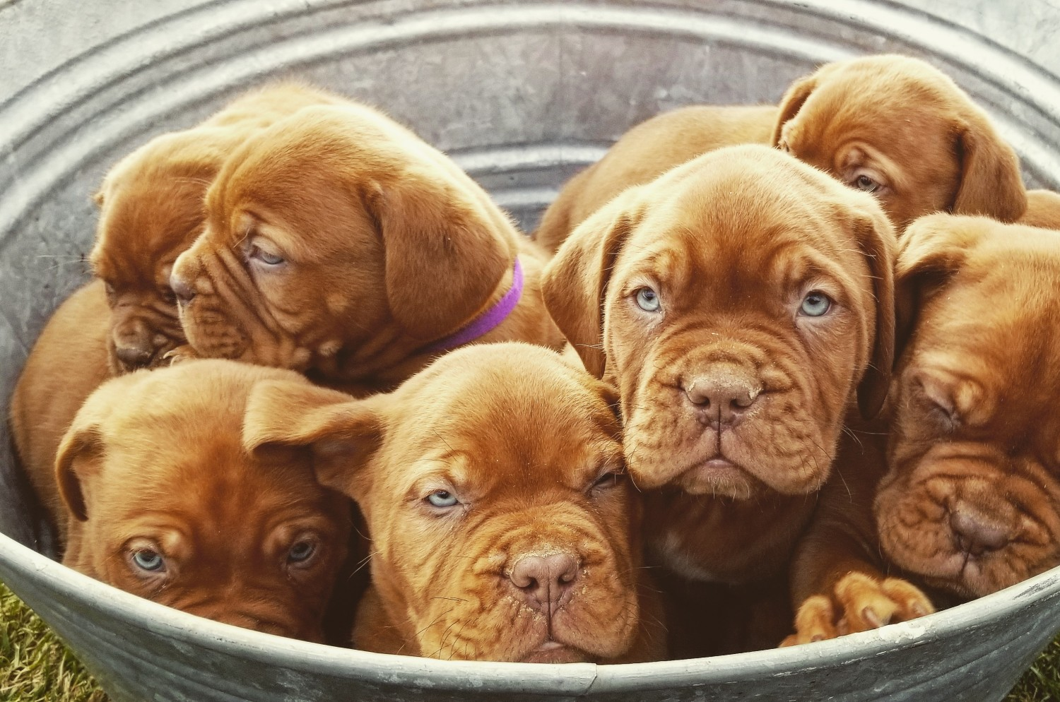 Dogue De Bordeaux Puppies For