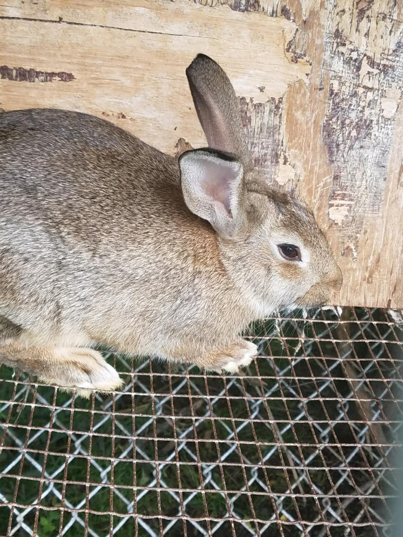 Domestic Rabbit Rabbits For Sale North Tonawanda Ny 234324