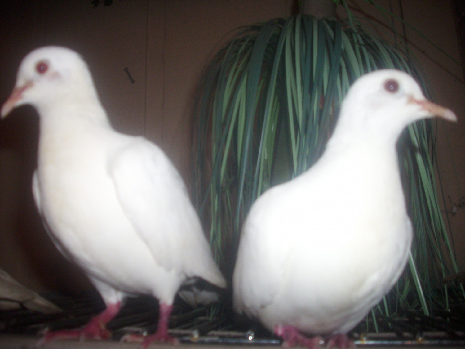 Doves For Sale >> Dove