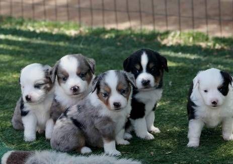 East European Shepherd Puppies For Sale | Las Vegas, NV #252286