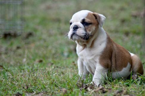 English Bulldog Puppies For Sale | Jacksonville, FL #82915