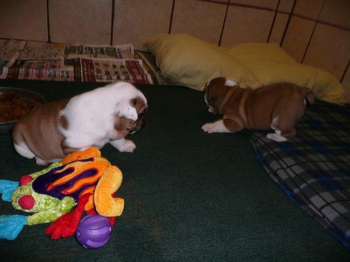English Bulldog Puppies For Sale Brooklyn Park Mn 110717