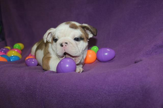 English Bulldog Puppies For Sale Houston Tx 126799