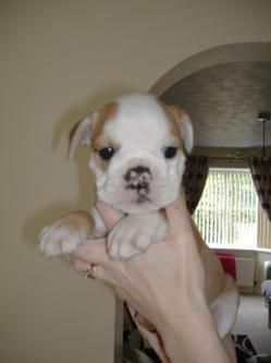 English Bulldog Puppies For Sale St Mary S County Md 169149