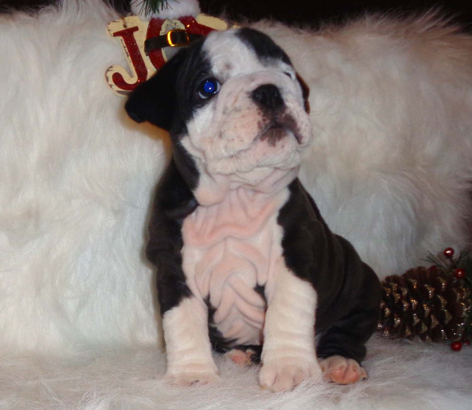 English Bulldog Puppies For Sale Gulfport Ms 172301