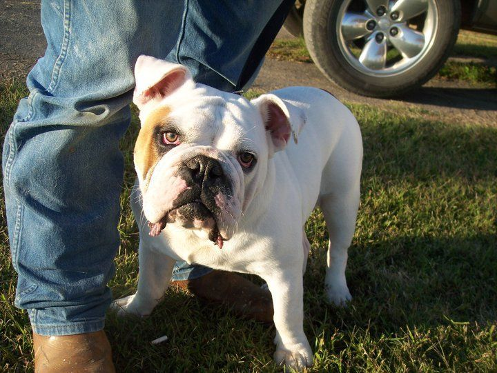 english bulldog tennessee english bulldog puppies for sale pigeon forge tn 178088 2850