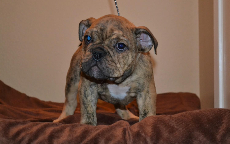 English Bulldog Puppies For Sale | San Diego, CA #182967