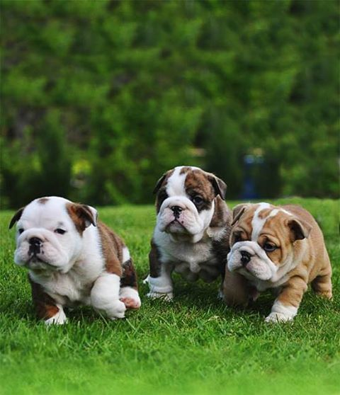 English Bulldog Puppies For Sale Clarks Summit Pa 197922