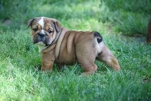 English Bulldog Puppies For Sale Virginia Beach Va 218350
