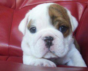 English Bulldog Puppies For Sale Virginia Beach Va 218829