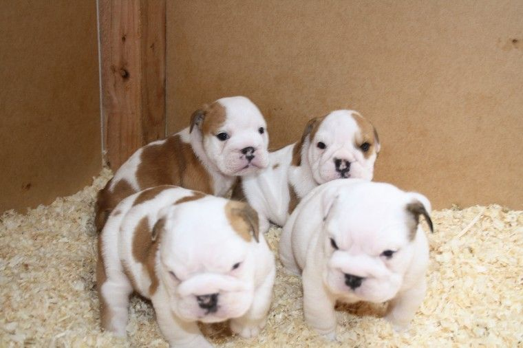 English Bulldog Puppies For Sale Burtonsville Md 222962