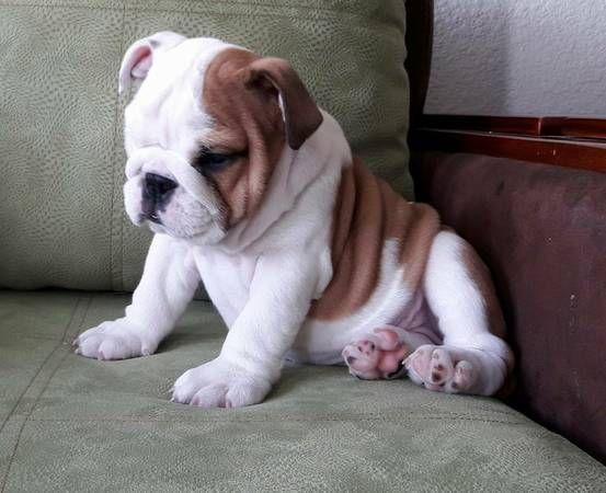 English Bulldog Puppies For Sale   Denver, CO #222976