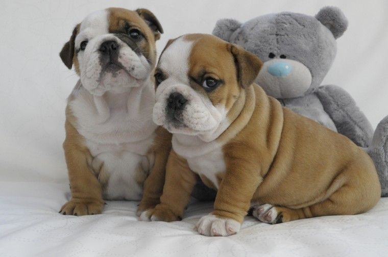 english bulldog puppies for sale in mississippi english bulldog puppies for sale blue springs ms 223660 7711