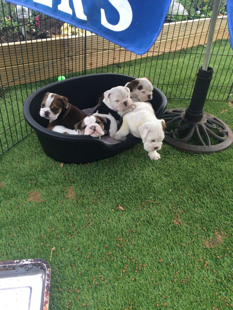 english bulldog puppy for sale in indiana english bulldog puppies for sale indianapolis in 227865 3489