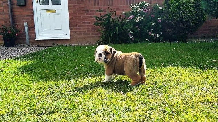 bulldog for sale in md english bulldog puppies for sale maryland line md 230530 9934