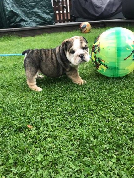 bulldog for sale in md english bulldog puppies for sale maryland line md 230534 4382