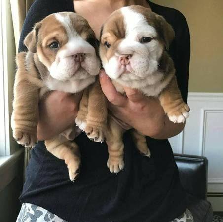 English Bulldog Puppies For Sale Maryland Street Ca 232375