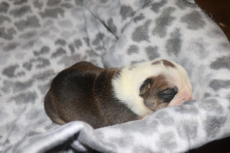 English Bulldog Puppies For Sale | Richmond, VA #235687