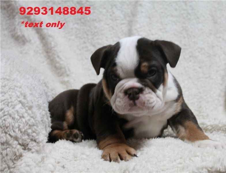 english bulldog puppy for sale in indiana english bulldog puppies for sale indianapolis in 256659 3177