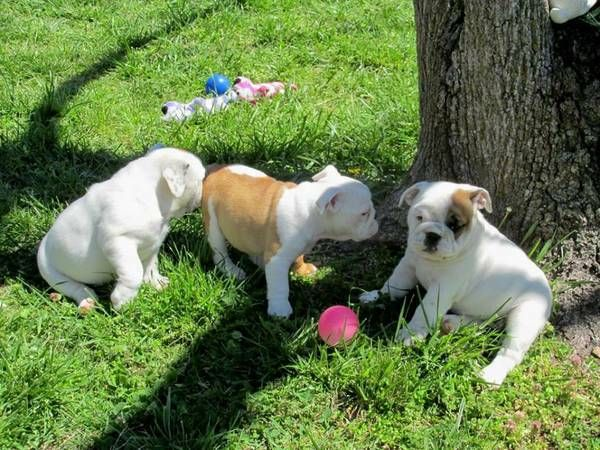 bulldog ne english bulldog puppies for sale northeast philadelphia 1876