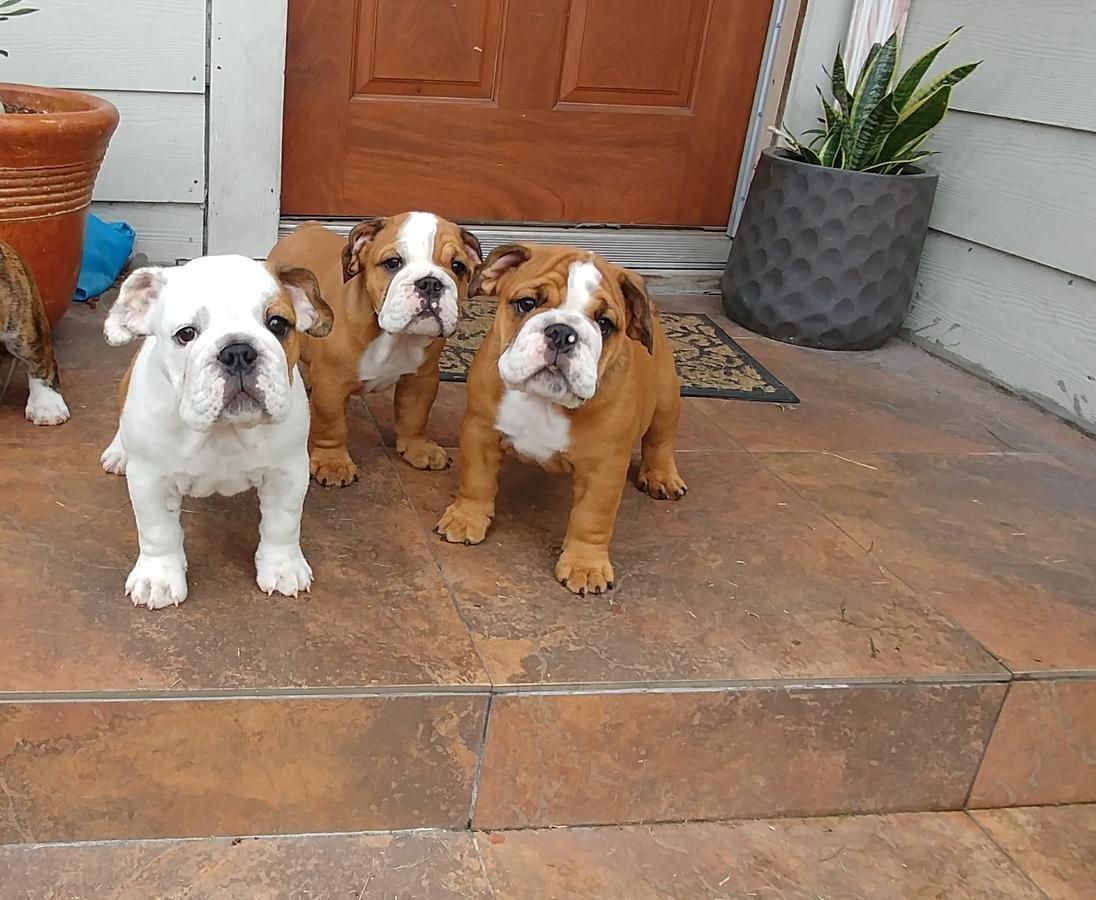 Z Gallerie Bulldog English Bulldog Puppie...