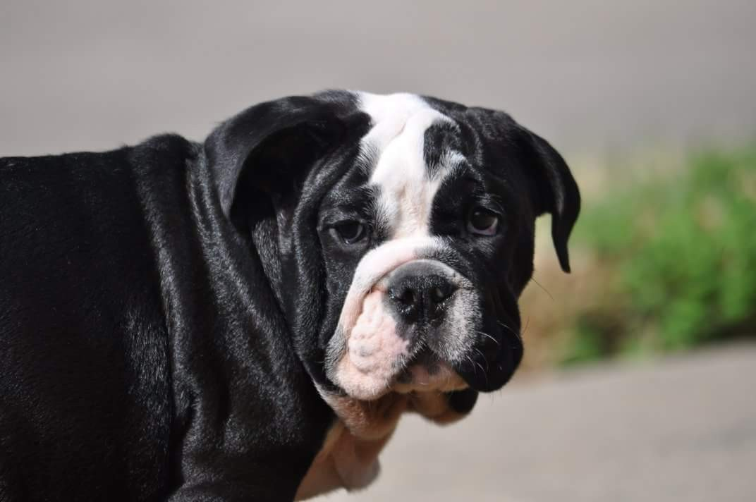 English Bulldog Puppies For Sale Houston Tx 273571