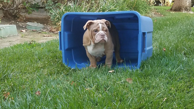 English Bulldog Puppies For Sale Los Angeles Ca 282672