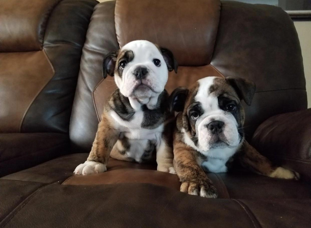 English Bulldog Puppies For Sale Houston Tx 287052